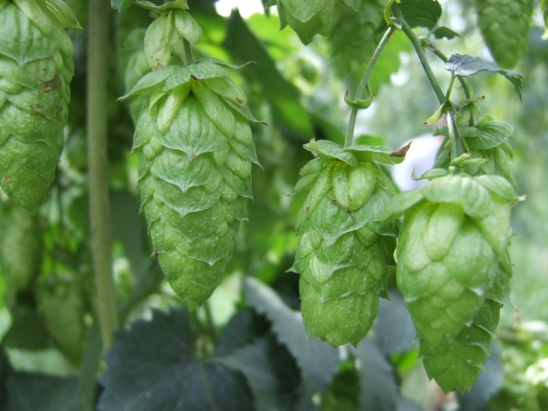 Atlas green hops on the bine