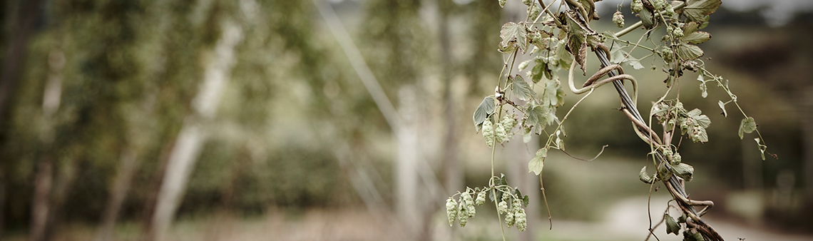 Photo of hops on the bine. Purely decorative for the New Customer form page